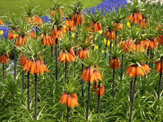 Fritillaria imperialis Couronne impériale