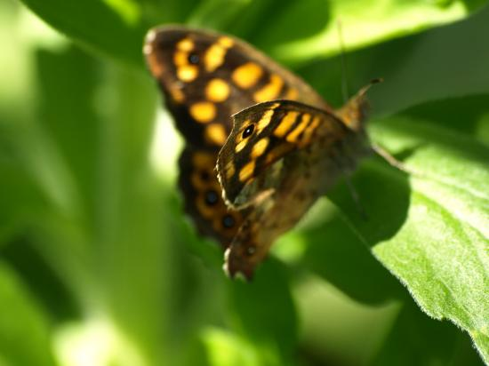 Papillon Tircis Pararge aegeria