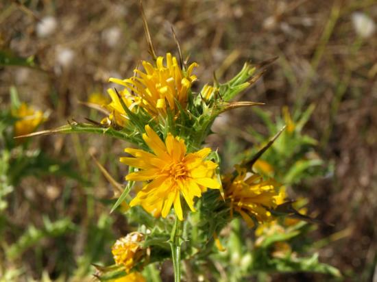 Scolyme - Chardon d'espagne - Scolymus hispanicus