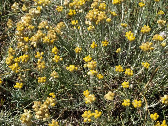 Immortelle des sables - Helichrysum stoechas