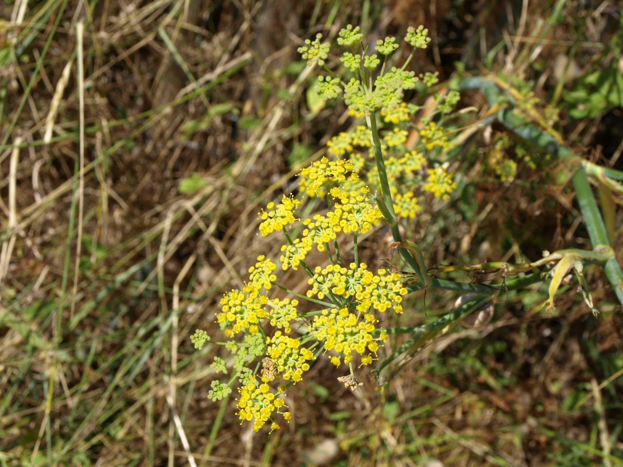 Foeniculum vulgare - Fenouil commun