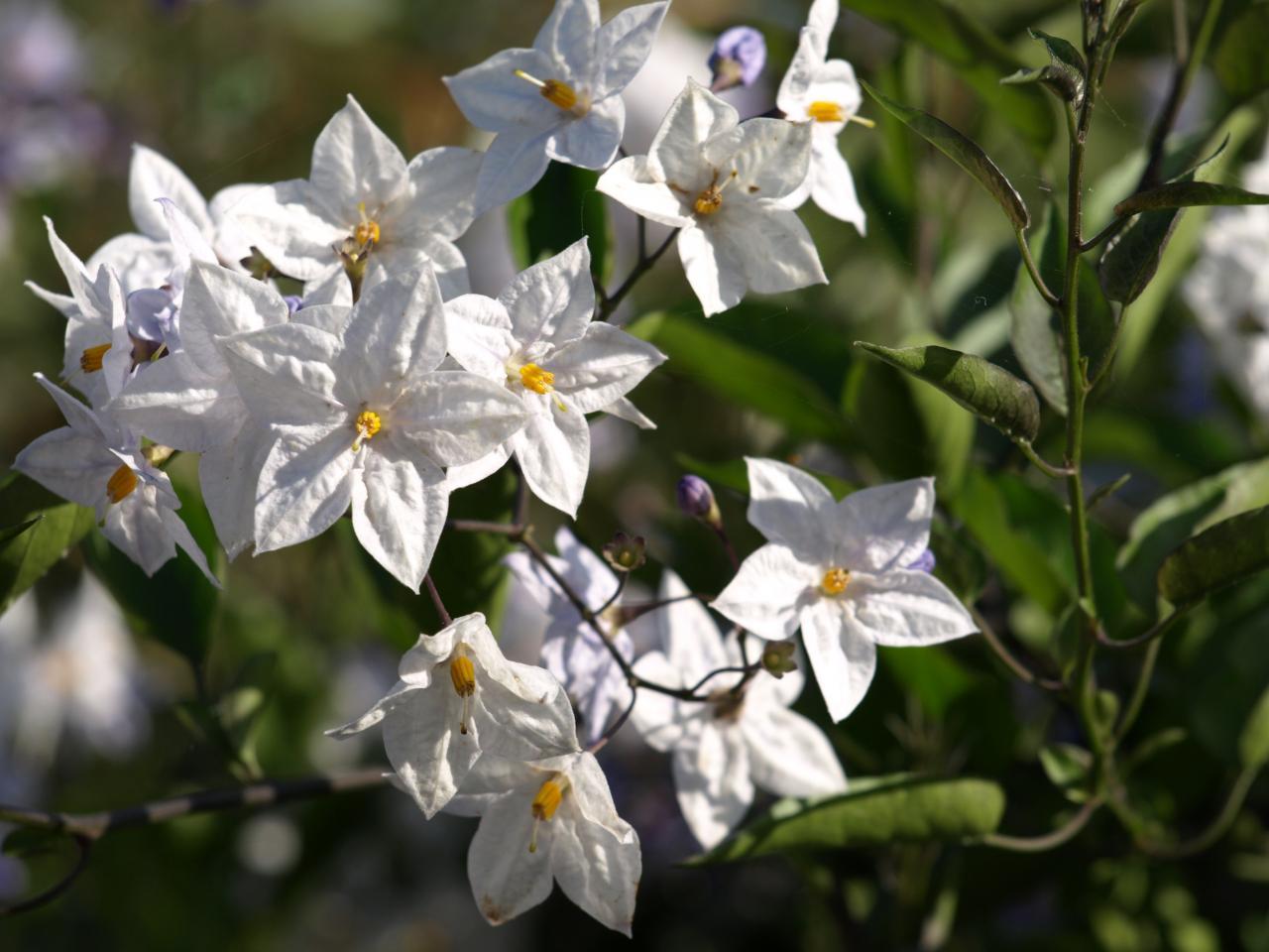 Solanum blanc