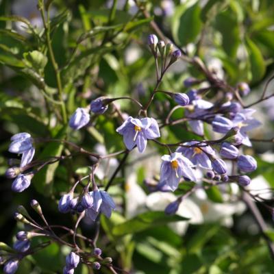 Solanum bonariense L