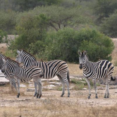 Zebres