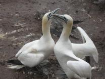 Percé Oiseaux