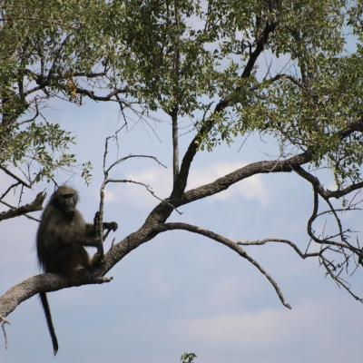 Babouin mâle dominant
