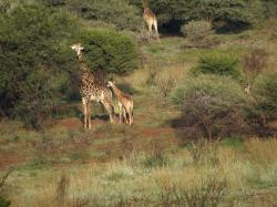 Girafe et girafon