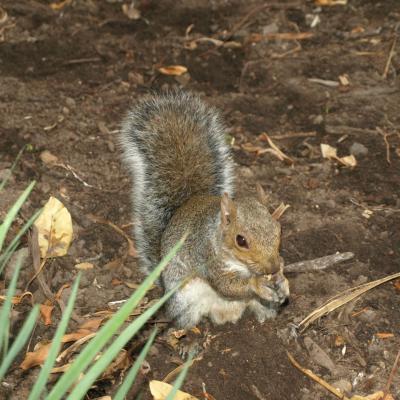 Les écureuils de Company's Gardens