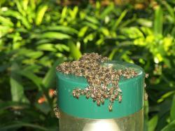 Les abeilles de Company's Gardens