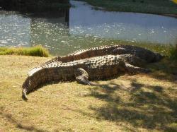 Les crocodiles du Nil