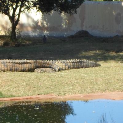 Les crododiles du Nil