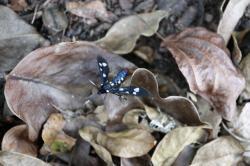 Papillon chenille rasta