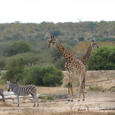 Zèbres et Girafes